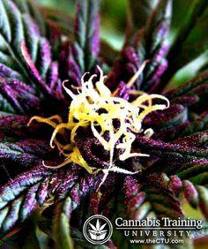 Outdoor Growing Calendar for Marijuana Plants Medical Cannabis, Cannabis Oil, Cannabis Growing, Marijuana Plants, Buy Weed, Smoking Weed, Grow Your Own, Ganja, Gardens