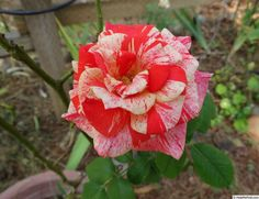 'Philatelie' Rose Photo