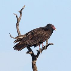 #MyODFWTakeover by @noahstrycker author of Birding without Borders -  The Turkey Vulture is my favorite bird in the world. When I was in high school after watching an episode of David Attenboroughs Life of Birds I was inspired to photograph vultures at close rangewhich required a special kind of bird feeder. To lure in the birds I dragged a roadkill deer into my parents front yard and set up a camouflage tarp as a makeshift photography blind. Sure enough 25 Turkey Vultures hung out on our…