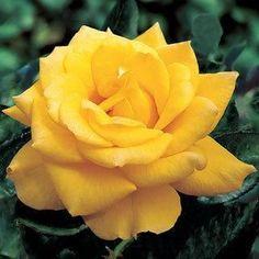 Henry Fonda Hybrid Tea Rose (Yellow) for Gramsy