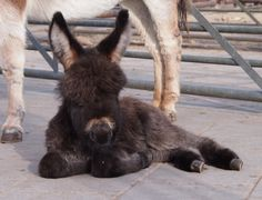 What a sweet baby! Baby Donkey, Cute Donkey, Mini Donkey, Baby Cows, Mini Pigs, Baby Elephants, Cute Baby Animals, Farm Animals, Animals And Pets
