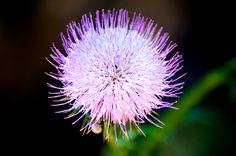 Electric Purple Puffballs of Summer