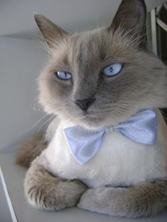 Siamese cat with blue bow tie