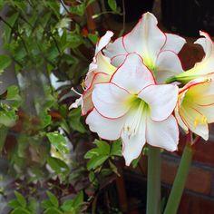 100% True Native Species Amaryllis Seeds Balcony Bonsai Hippeastrum Hybrid Gorgeous Color Flower Seeds 50PCS