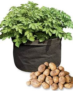 Grow Your Own Potatoes; No Digging or Hilling Required    We grew potatoes in a number of different fabric pots, and this one came out the winner, producing a big, 13-pound harvest. The porous fabric of the Potato Bin® aerates roots, prevents heat build-up and allows excess water to drain away. Its compact size lets you grow your own potatoes in just about any sunny spot.