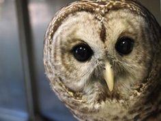 Blandford Nature Center - Barred Owls