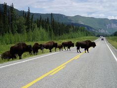 Buffalo crossing the Alaska Highway - Wildlife Tours BC by Northern Rockies Lodge, via Flickr