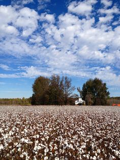 Rows of cotton fields in the Mississippi Delta that pushed a young Leo to strive to become a famous blues singer.