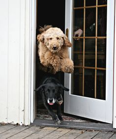 "It's time to go outside and play now!"" ---- [*Luke* (a Labradoodle) jumping over *Buddy* (a Black Labrador Retriever) trying to get outside!]~[Photo by *Caity* - March 27 2009 - Defiance, Ohio, Labrador Noir, Black Labrador Dog, Labrador Retriever, Baby Dogs, Dogs And Puppies, Doggies, Funny Puppies, Love My Dog, Funny Animals"