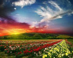 Rose valley near Kazanlak, Bulgaria