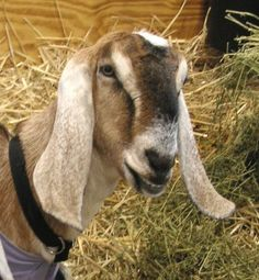 Don't raise the wrong breeds. Here are 18 of the best goat breeds for milk and meat production that you should consider.