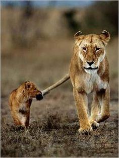 Google Image Result for http://www.nouvellesimages.com/img_Lion-cub-and-its-mother_Frans-LANTING_ref~110.001139.00_mode~zoom.jpg