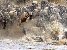 wildebeast migration, crossing the Mara River