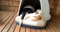 Basset Hounds make the most adorable clown car after piling into dog house (VIDEO) » DogHeirs | Where Dogs Are Family « Keywords: clown car, dog house, Basset hound