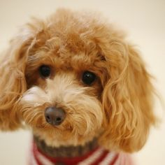 A very cute toy apricot poodle!