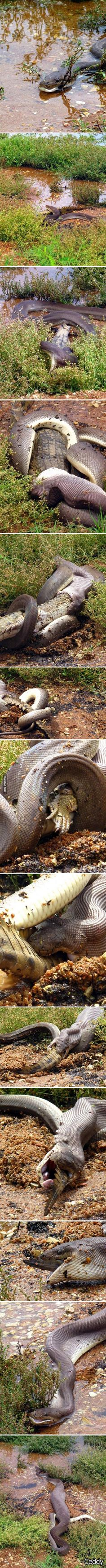 Python devours croc. Wow. that is just a little bit scary!!!!