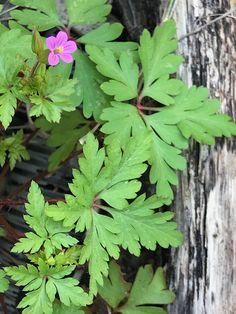 Edible Wild Plants, Herbal Plants, Wild Edibles, Plantar, Aloe Vera, Herbalism, Herbs, Outdoor, Gardens