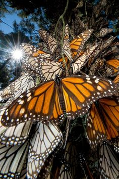 Mexico to see the yearly Monarch Butterfly migration Photograph by Joel Sartore, National Geographic Wow Photo, Photo Animaliere, Butterflies Flying, Beautiful Butterflies, Beautiful Bugs, Hello Beautiful, Monarch Butterfly Migration, Butterfly Species, Photo Lovers