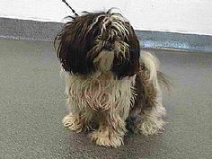 SEAACA (SOUTHEAST AREA ANIMAL CONTROL AUTHORITY) (562) 803-3301 9777 Seaaca Street Downey, CA 90241 ABOUT 17-11518 17-11518 Shih Tzu Black/Brown/White Impounded on 12/08/2016 from Norwalk Available for adoption holds on 12/08/2016. Adoption availability Date 12/13/2016. Adoption holds must be placed in person. Please visit SEAACA to see me. MORE ABOUT 17-11518 Pet ID: 17-11518