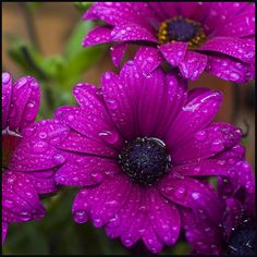 Deep Pink Daisies - I have these in my garden and love them!