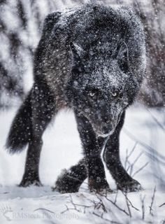 Respect the Wolf Wolf Images, Wolf Photos, Wolf Pictures, Animal Pictures, Beautiful Creatures, Animals Beautiful, Cute Animals, Wolf Spirit, Spirit Animal