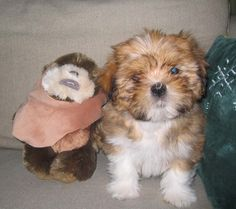 Lhasa apso, Millie at 8 weeks, or is that an Ewok?