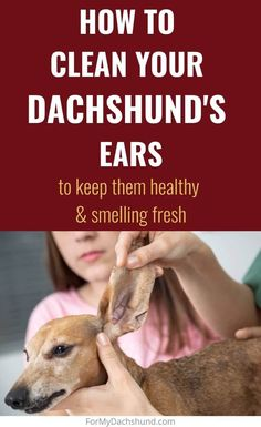 Keeping your Dachshund's ears clean is important for their health. This guide will help you keep your Doxie's ears clean, prevent them from smelling, and hopefully keep infections at bay. Dachshund Breed, Dapple Dachshund, Mini Dachshund, Dachshunds, Dog Ear Cleaning Solution, Cleaning Dogs Ears, Ear Health, Wiener Dogs, Dog Care Tips