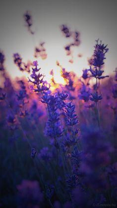Levendula naplementében háttérkép - Lavender in sunset background -  iPhone 6 ©iSzerelés www.iszereles.hu