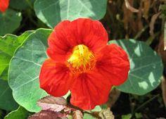Imágenes de flores y plantas: CAPUCHINA
