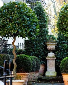 One can never go wrong with potted boxwood!