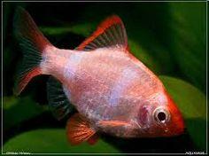 Resultado de imagen de tiger barb fish