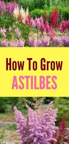 Learn how to grow astilbes with a few simple tips! This low-maintenance perennia… Learn how to grow astilbes with a few simple tips! This low-maintenance perennial is easy to care for as long as you know what it needs to thrive in your garden! Shade Perennials, Shade Plants, Gardening For Beginners, Gardening Tips, Gardening Vegetables, Hydroponic Gardening, Gardening Quotes, Shade Garden, Garden Plants