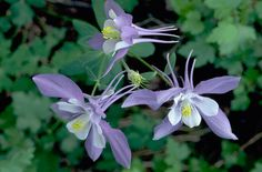The Colorado Columbine--what an exquisite example of God's craftsmanship!