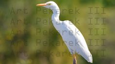 South Florida's Beautiful Birds.  This is the White Egret I do believe.  December of 2014, Pompano Beach, Florida.