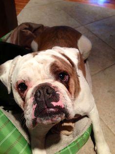 Tugg- Old English Bulldog