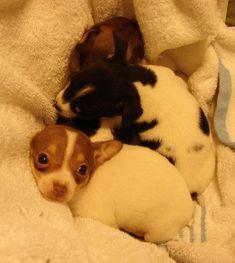 Rattie puppies!!!