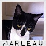"My name's Marleau and I am a wide eyed, curious cat searching for a forever home. I was originally transferred to SCCA from the ""For Luv of Paws"" organization.  Even though I reside in the adult cattery, I am still young and have a kitten personality. I am very playful; I absolutely LOVE toys! J  I'm an easy going and laid back gal, especially for being a kitten! I don't mind being handled or held. As much as I appreciate and love all my human and cat friends at SCCA!"