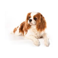 New VetCompass paper Common disorders in Cavalier King Charles... ❤ liked on Polyvore featuring animals, dogs, pets and animali