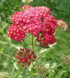 Yarrow (Achillea millefolium), another member of the aster family, contains achilleine, an alkaloid responsible for staunching blood flow. Yarrow contains more than 120 other chemical components, some of which have been shown to reduce inflammation and muscle spasms, and to relieve pain. Others are believe to ease digestion, calm anxiety, treat baldness and relieve hypertension