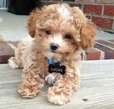 Looking for teddy bear puppies for sale? We are going present a brief description of each breed so you know the ones that are perfect for you & your family. dogs Teddy Bear Puppies For Sale - Description Of Each Breed & Price Maltipoo Puppies For Sale, Teddy Bear Puppies, Cute Dogs And Puppies, Puppies Puppies, Doggies, Teacup Poodle Puppies, Maltese Poodle, Tea Cup Poodle, Tiny Puppies For Sale