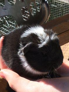 Baby Guinea-pig