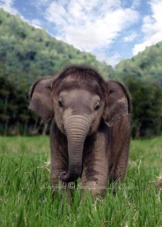 Baby Elephant love the fuzzy head! Cute Creatures, Beautiful Creatures, Animals Beautiful, Cute Baby Animals, Animals And Pets, Funny Animals, Elephant Love, Baby Elephants, Asian Elephant