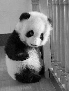 Baby Panda