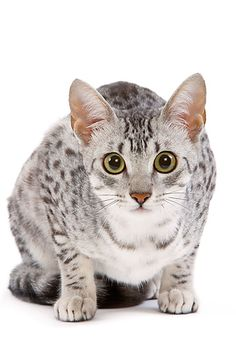 silver egyptian mau - Google Search - http://www.kimballstock.com/results.asp?image=CAT%2002%20JE0097%2001