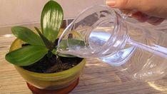 ORCHIDEJ !!!!!!!!Odkvetla Vám orchidej? Geniální trik od zahradníka jak jí správně zavlažovat!   Vychytávkov