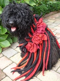 Our young Puli dog is wearing a hand felted scarf