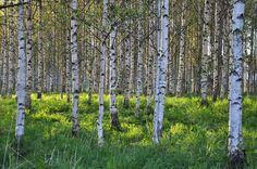 Koivumetsä - koivumetsä metsä koivu vihreä ruoho vehreä puu puut metsämaisema keväinen toukokuu kesä alkukesä vehreä luonto Nature Pictures, Beautiful Pictures, Story Inspiration, Helsinki, Birch, Scenery, Forests, Picture Ideas, Plants