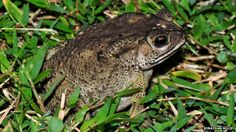 Asian common toad The team believes the toads could cause an ecological disaster for Madagascar's animals The amphibians were first seen in Toamasina, the main port of Madagascar. It is thought that they arrived in shipping containers from their native home in South East Asia.