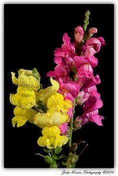 Pink & Yellow Snap-Dragons