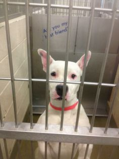 A432494-URGENT MORENO VALLEY**Available 2/24 American Bulldog • Young • Female • Medium Saving Shelter Pets of California, Inc. Moreno Valle...